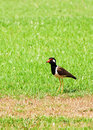 Red wattled lapwing bird a in a green garden Royalty Free Stock Images