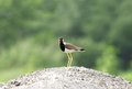 Red wattled lapwing has a fleshy wattle in front of each eye Royalty Free Stock Image