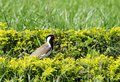 Red wattled lapwing in the hedges has a fleshy wattle front of each eye Royalty Free Stock Image