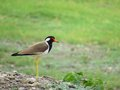 Red wattled lapwing portrait is stand on small pile of stones and grass plant ahead of it make scene beautiful Stock Photo
