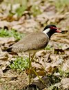 A red wattled lapwing Royalty Free Stock Photo