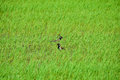 Red wattled lapwing in the rice field. Royalty Free Stock Photo