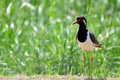 Red wattled lapwing vanellus indicus beautiful Stock Image