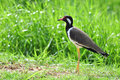 Red wattled lapwing vanellus indicus beautiful Royalty Free Stock Images