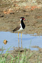 Red wattled lapwing vanellus indicus bundala national park sri lanka Stock Photography