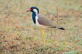 Red-wattled lapwing Royalty Free Stock Photo