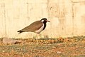 Red wattled lapwing vanellus indicus on porbandar embankment Royalty Free Stock Image