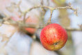 Red wet apple on a branch winter Stock Image