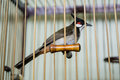 Red whiskered bulbul bird a in a wooden cage Stock Photography