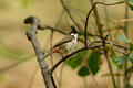 Red-whiskered Bulbul (Pycnonotus jocosus) Stock Photos