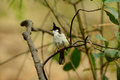 Red-whiskered Bulbul (Pycnonotus jocosus) Royalty Free Stock Image