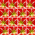 Red and white Amaryllis flower inside square shapes
