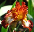 red-and-white bearded iris