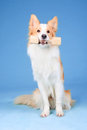 Red and white border collie tooks aport Stock Images