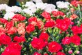 Red and white carnations background at Flower Market in Hong Kong, selective focus. Floristry and floriculture backdrop Royalty Free Stock Photo