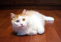 Red and white cat with different colored eyes lying on the floor Stock Image