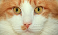 Red and white cat face close up Stock Photo