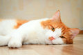 Red and white cat lying on the floor cute Stock Photography