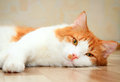 Red and white cat lying on the floor cute Stock Images