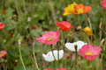 Red and white corn poppy papaver rhoeas in the spring Stock Image