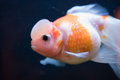 Red and White Crown Pearlscale Goldfish Royalty Free Stock Photo