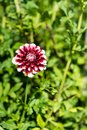 Red White Flower Bud Blooming ...