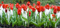 Red and white flowers tulips Stock Photos