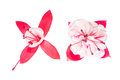 Red and white fuchsia flower on white background Stock Image