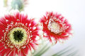 Red and white gerbera flowers Royalty Free Stock Photo