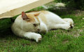 Red and white homeless cat sleeping lightly on the grass in the shade in summer street Royalty Free Stock Photo