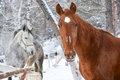 Red and white horses horse brown eyes animals nature farm village artiodactyls winter Royalty Free Stock Photography