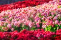 Red, white, orange and pink roses in the garden Royalty Free Stock Photo