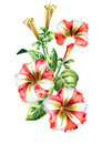 Red and white Petunia flower. Watercolor illustratio