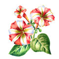Red-white Petunia flower. Watercolor