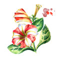 Red-white Petunia flower. Watercolor illustration
