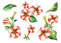 Red and white Petunia flowers compositions set. Watercolor illustration