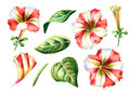 Red and white Petunia flowers set. Watercolor illustration