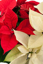 Red and white poinsettias Stock Photo
