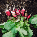 Red and white radishes Royalty Free Stock Photo