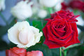 Red and white roses in garden Royalty Free Stock Photo