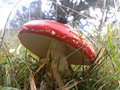 Red and white spotted toad stool in the undergrowth Stock Photos