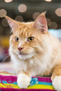 Red white tabby maine coon cat cats and dogs close up portrait selective focus natural blurred background Royalty Free Stock Image
