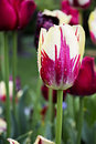 Red and White Tulip Royalty Free Stock Photo