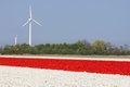 Red and white tulip fields with wind turbines in the Netherlands Royalty Free Stock Photo