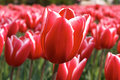 Red and white tulip isolated Royalty Free Stock Images