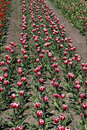 Red and white tulip nursery a commercial in holland michigan has rows rows of colorful spring tulips Royalty Free Stock Image