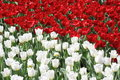 Red and White Tulipe Flower Stock Images
