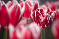 Red and White Tulips Royalty Free Stock Photography