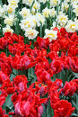 Red and white Tulips. Royalty Free Stock Photo