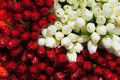 Red and white tulips background closeup view Stock Photos